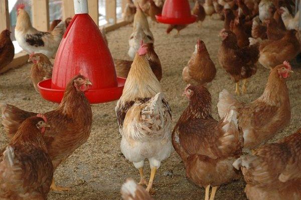 Automatische Hühnerklappe und Hühnertränke
