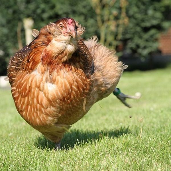 Hühner Freilauf Freilandhaltung