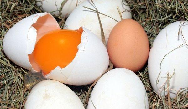 Hühner fressen eigene Eier