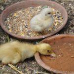 Hühner impfen Pflicht