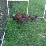 Hühnervoliere selber bauen kaufen