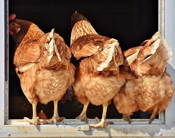 Automatische Hühnerklappe Test