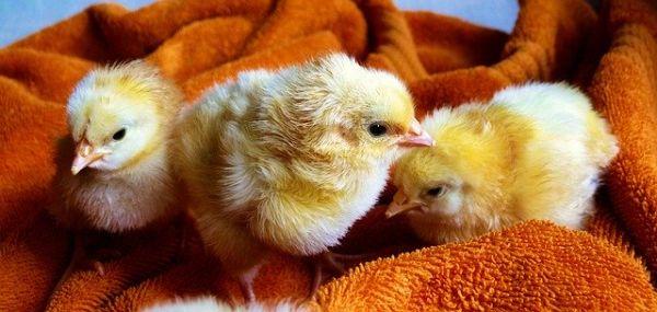 Geschlechtsbestimmung Unterscheidung Küken Henne Huhn